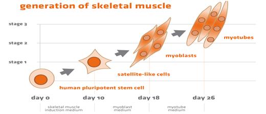 新品上市| hPSC诱导分化骨骼肌fun88官方网站